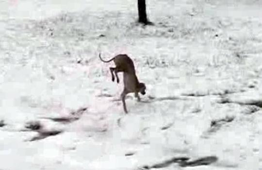 【おもしろ】後ろ足が冷たくて思わず二足歩行してしまった犬w