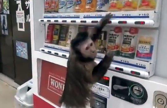 【衝撃映像】自動販売機でジュースを買って飲むお猿さん