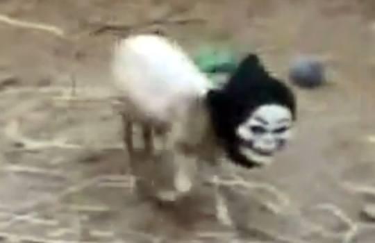 【衝撃映像】ヤギに怖いマスクを被せたらぼっちになった・・・