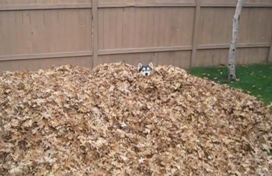 【萌え注意】枯れ葉にはしゃぐハスキーが可愛すぎるwww
