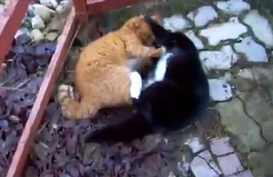 【衝撃映像:猫】人間よりも激しい猫のマジ喧嘩!!
