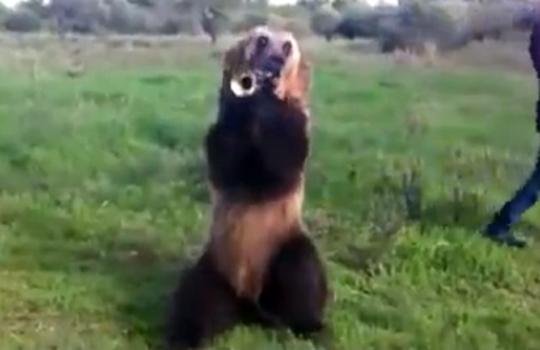 【萌え注意】サーカスとかレベル低いし・・・ものすごい芸を見せるクマが萌えるw