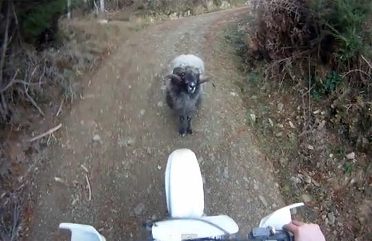 【衝撃映像】新手のスタンド?一本道でリアルファイトを挑んできた黒羊・・・