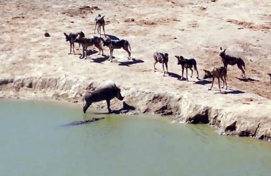 【衝撃映像:動物】四面楚歌・・・ハイエナ集団とワニに囲まれた牛の運命・・・