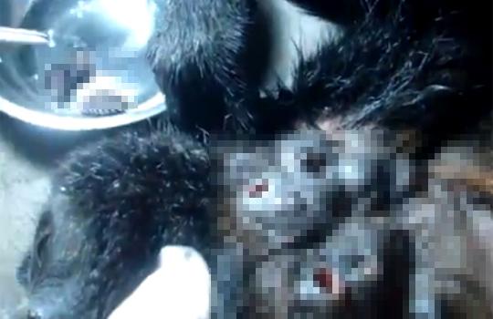 【グロ注意:虫】猿の皮膚に埋まっている寄生虫を取り出す・・・