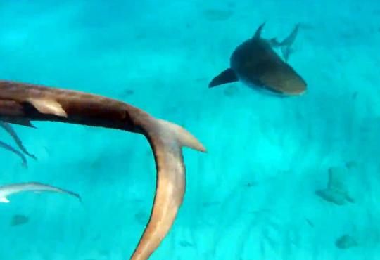 【衝撃映像:サメ】囲まれた!?サメに包囲されて餌扱いのダイバー・・・