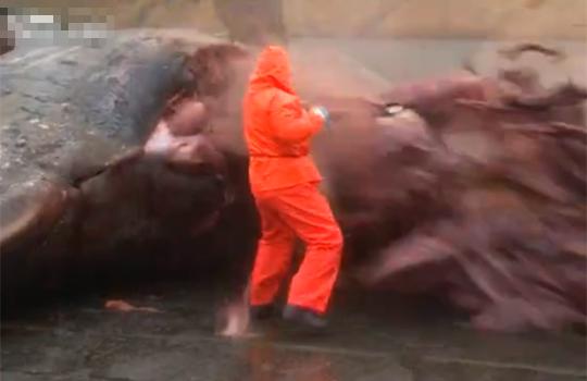 【衝撃映像:動物】キラークイーン!?鯨のお腹がいきなり爆発!内臓が飛び散るw