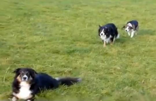 【萌え動画:犬】だるまさんが転んだを真剣にする犬が可愛すぎるwww