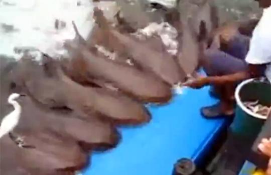 【衝撃映像:動物】サメ芸とかみたことないわw!しかも懐きすぎワロタwww
