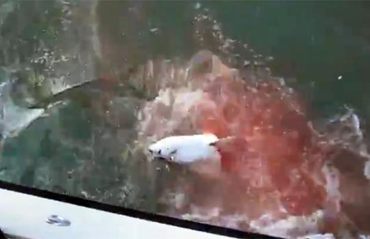 【衝撃映像:サメ】掛かった魚が暴れまわるとおもったらサメが群がってた件