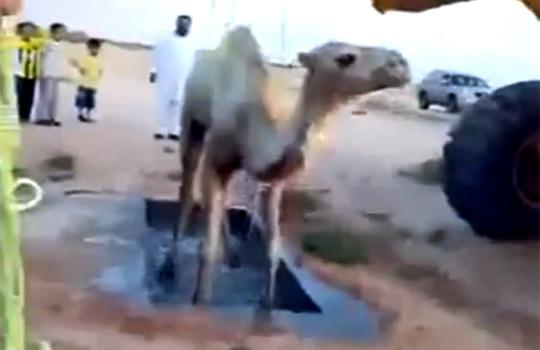【閲覧注意:動物】ラクダを洗浄~引き上げ失敗でラクダ溺死( ゚∀゚ ;)