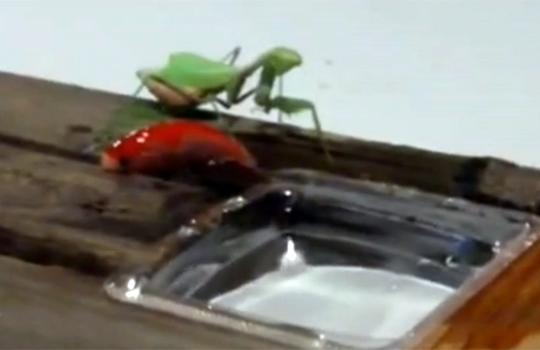 【衝撃映像:虫】カマキリVS金魚・・・無謀すぎる地上戦www