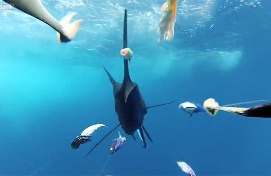 【衝撃映像:魚】トローリングで疑似餌を追いかけてくるカジキが怖すぎるwww