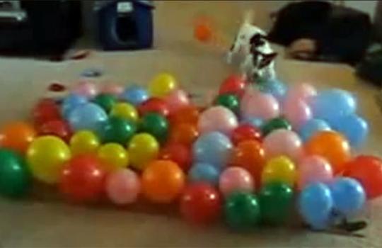 【おもしろ動画:犬】風船VS犬 物凄い勢いで風船を駆逐していく犬w
