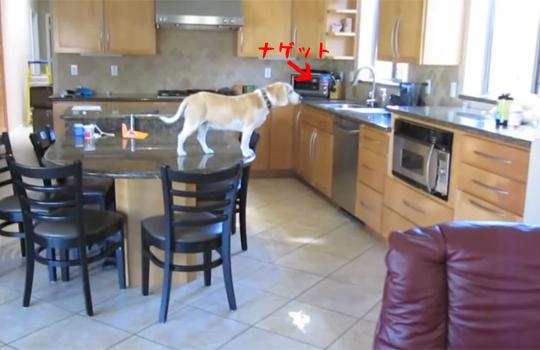 【おもしろ動画:犬】電子レンジの中のナゲットを見事に盗むルパン犬www