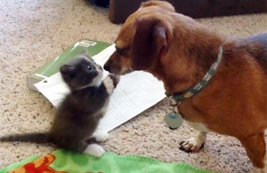 【猫動画】可愛えぇw犬を見て威嚇するも尻もちつく子猫www