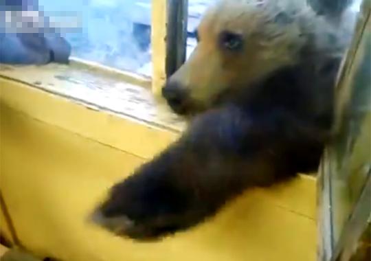 【動物:熊】お菓子が欲しくてお手をする熊が可愛いすぐる(*゚ー゚)