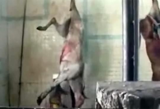 【閲覧注意】馬の殺処分・・・叫んで暴れる姿が切ない