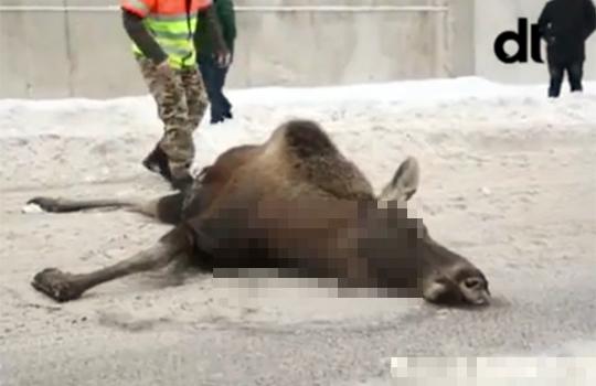 【衝撃映像】これ日本か?鹿までも飛び降り自殺を決める・・・