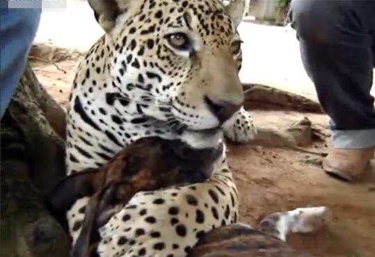 【衝撃:動物】ジャガーに愛された犬wガクブルしすぎwww