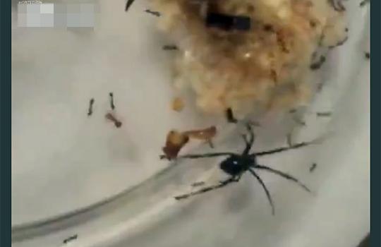【衝撃:虫】蜘蛛VSヒアリ 殺人アリの攻撃力がやばすw