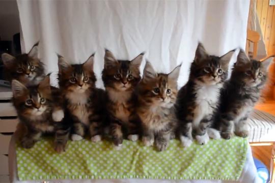 【猫動画】子猫7匹のシンクロが萌えすぎる!!!