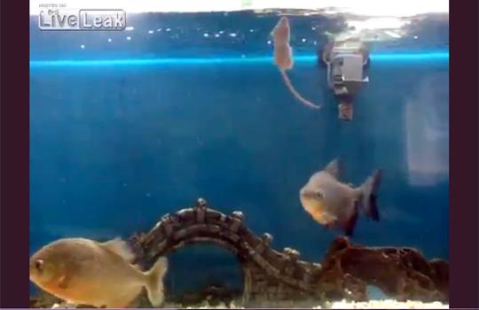 【閲覧注意】ピラニアの水槽に生きたネズミを投下したら凄いことなった!