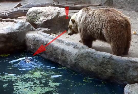 【感動】溺れてるカラスに近づく熊!捕まえられたと思ったら!?