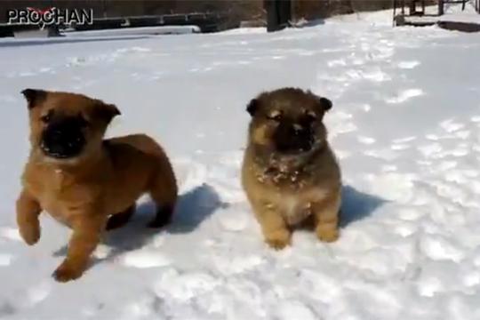 【萌え注意】雪の上をはしゃぎながら走ってくるモフモフな子犬が萌えすぎるwww
