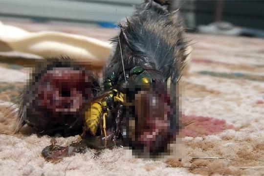 【閲覧注意】ネズミの死体に群がるハエと・・・グロ過ぎてワロエナイ・・・