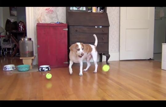 【おもしろ】犬の誕生日にサプライズw大量のボールをあげたらおもしろい事になったw