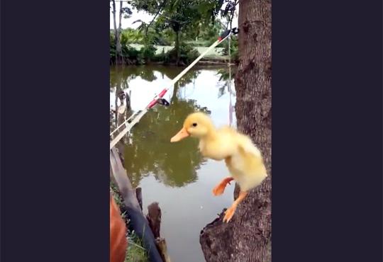 【閲覧注意】生きたアヒルの子供で雷魚を釣るキチガイ映像・・・