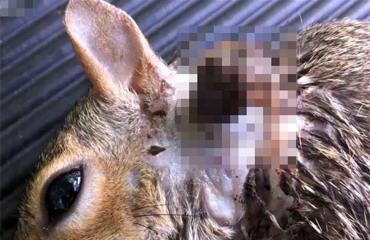 【鳥肌注意】ウサギの首から這い出てくるウマバエの巨大幼虫・・・【閲覧注意】