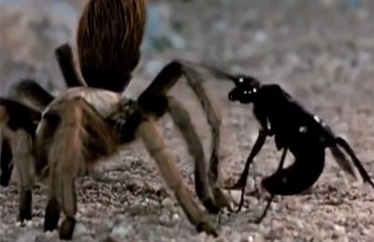 【VS昆虫】スズメバチVSタランチュラ 予想外過ぎる展開・・・