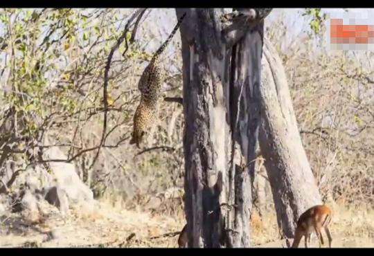 【衝撃映像】豹の狩猟がカッコよすぎるwまさかこんな方法で狩るとは・・・