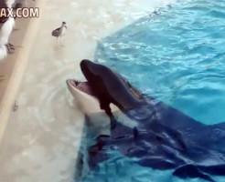【衝撃映像】鳥の前に魚を置いて近づいた鳥を捕獲!シャチ天才過ぎるwww