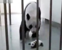 【感動】自分の赤ちゃんと再会した時の母パンダの反応www