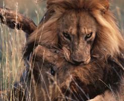 【衝撃映像】ハンモックに生肉垂らしてライオンの群れで寝た結果www