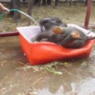【萌死注意】子ゾウの水浴びが可愛くて可愛くて震える件