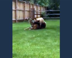 【閲覧注意】野生の熊が鹿を襲って食べる一部始終・・・鹿の悲鳴怖い・・・