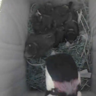 【閲覧注意】逃げてぇ~!雛鳥のいる巣箱にキツツキが襲来、1匹ずつ消えていく・・・
