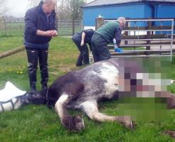 【閲覧注意】レ●プされた馬が発見され、問題に・・・