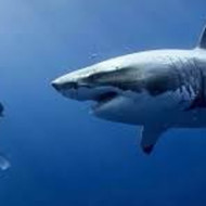 【衝撃映像】サメに襲われてカメラを強奪される一部始終
