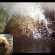 【衝撃映像】ビーバー涙目w立派な巣を爆破してみたwww