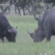 【衝撃映像】サイVS水牛 一番強い動物はサイだろwww動画有り