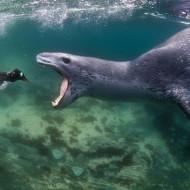 【閲覧注意】可愛らしいアザラシがペンギンを食ってる様が怖い