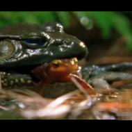 【衝撃映像】カエルがイモリを捕食→毒殺してノーダメージで生還するイモリ・・・