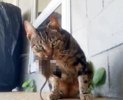 【グロ注意】リアルに猫がネズミを貪り食う映像が可愛くなさすぎる・・・