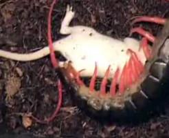 【衝撃映像】ムカデの入ったケースにネズミを投入した結果・・・ 動画有り