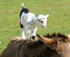 【鬼畜】ライオンに自分から近づく草食動物が発見されるwww